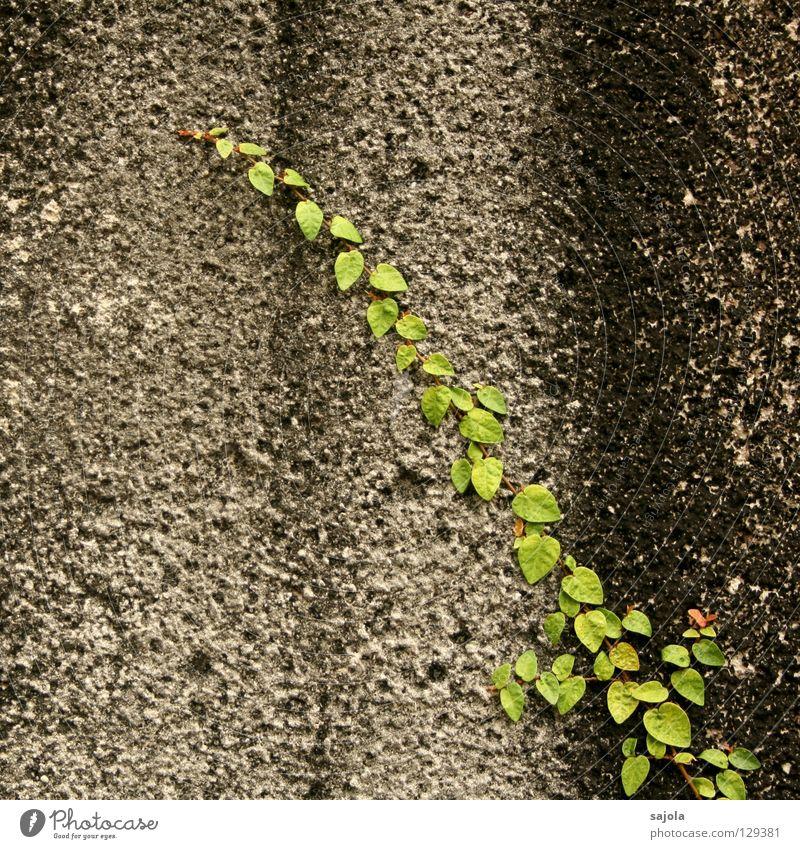 gross.stadt.dschungel.detail Pflanze Blatt Grünpflanze Wildpflanze Kletterpflanzen Mauer Wand Stein Streifen alt festhalten dreckig grau grün schwarz gestreift
