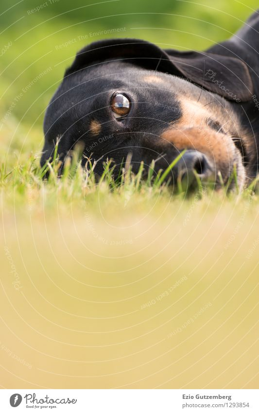 ein junger Dackel auf der Wiese Hund Natur Pflanze grün schön Landschaft Tier schwarz Tierjunges Gras natürlich Glück braun liegen Zufriedenheit