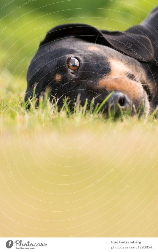 ein junger Dackel auf der Wiese Hund Natur Pflanze grün schön Landschaft Tier schwarz Tierjunges Wiese Gras natürlich Glück braun liegen Zufriedenheit