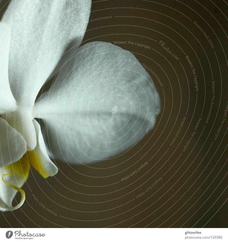 reinheit II weiß schön Pflanze Blume ruhig gelb Blüte Park Wachstum Vergänglichkeit Wellness Urwald Wohnzimmer Blütenknospen Botanik Thailand