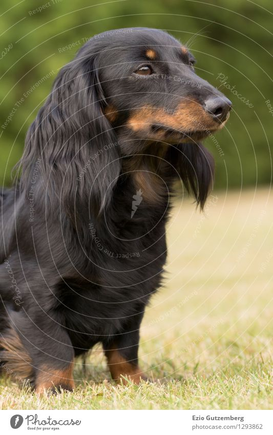 junger Zwergdackel auf der Wiese Hund Natur grün schön Freude Tier schwarz Tierjunges Gras Garten braun Zufriedenheit Freizeit & Hobby Idylle sitzen