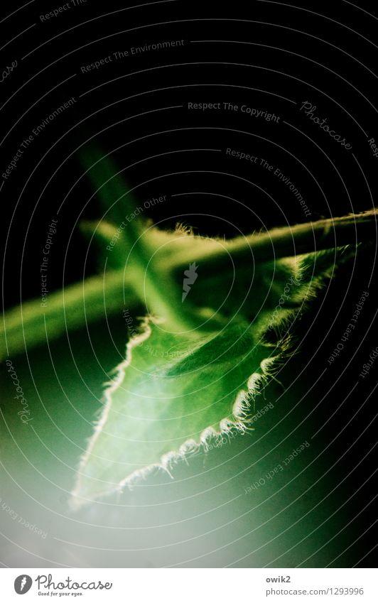 Grünanlage Umwelt Natur Pflanze Blatt Grünpflanze leuchten Wachstum glänzend klein nah grün schwarz weiß Idylle zerbrechlich Härchen Stengel winzig hängend
