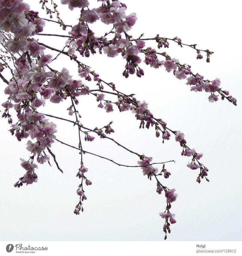 Zweige mit Blüten der im Frühling blühenden Zierkirsche Blühend März April Frühblüher Geäst verzweigt mehrere lang dünn gekrümmt krumm Froschperspektive Wolken