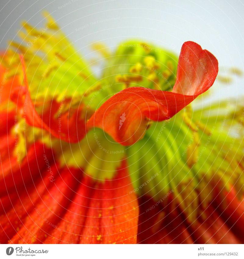 MohnFlower II Blume Blüte Pflanze Blumenladen Pollen gelb rot Vergänglichkeit Blütenblatt Seide Glätte fein schön diagonal Quadrat Frühling Jahreszeiten