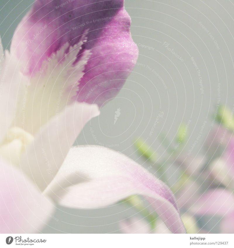 au weia weiß Pflanze Blume Farbe Blüte gold mehrere Erfolg Wachstum Dekoration & Verzierung Klettern Lebewesen Stengel türkis Urwald Duft