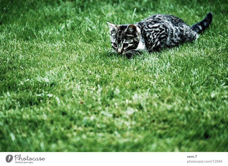 jagtübung Katze warten niedlich lau