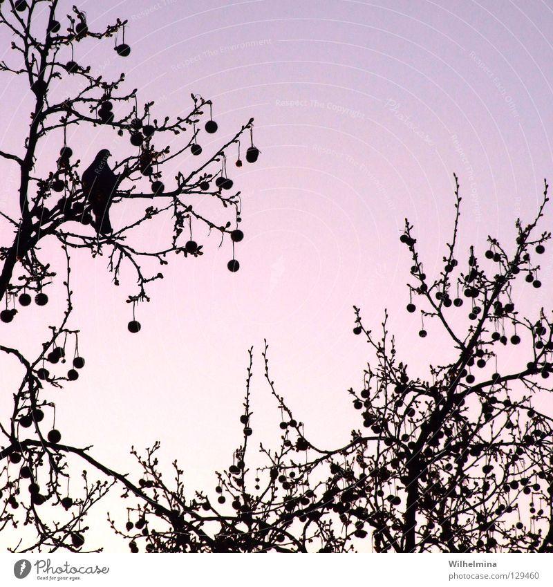 kITsCh Himmel Baum ruhig Erholung Luft Zufriedenheit Vogel rosa Romantik Frieden violett Kitsch Ast Kugel Baumkrone Taube