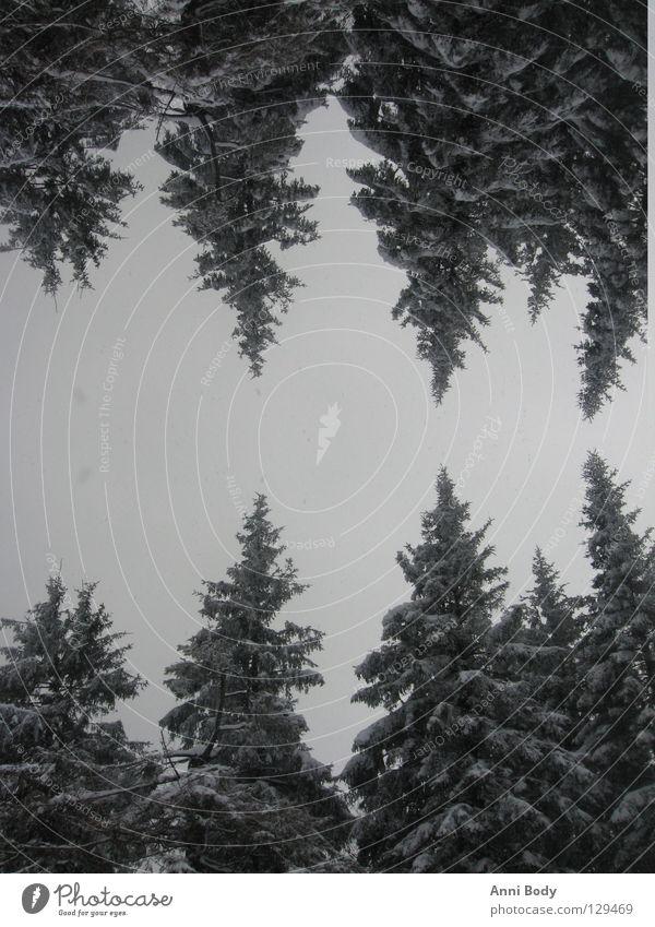 Doppelt so kalt Baum Winter Wald Schnee Tanne
