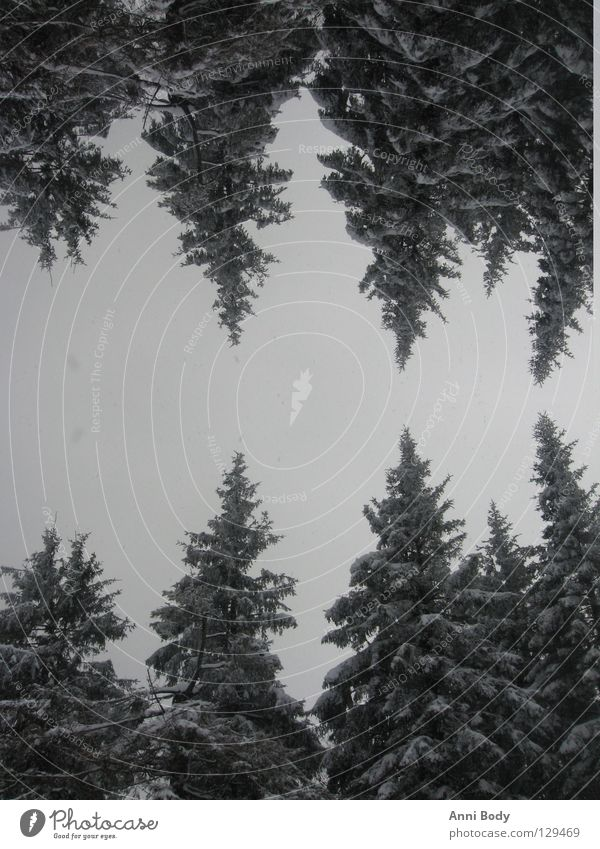 Doppelt so kalt Wald Tanne Winter Baum Schnee Tannen mit Schnee Bäume mit Schnee kalte Jahreszeit