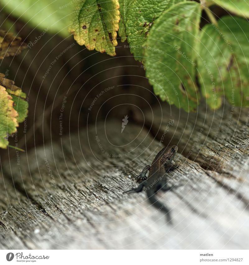 kleiner Drache grün Tier gelb natürlich Holz grau braun Wildtier Baby Sonnenbad Holzbrett Krallen Schuppen Waldeidechse Brombeeren