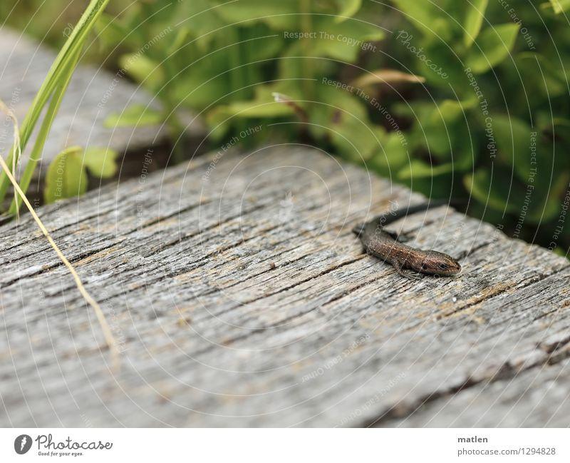 Sonnenbader Natur Landschaft Pflanze Tier Sommer Gras Wildtier Schuppen Krallen 1 braun grau grün Waldeidechse Baby Echte Eidechsen Holzbrett Farbfoto