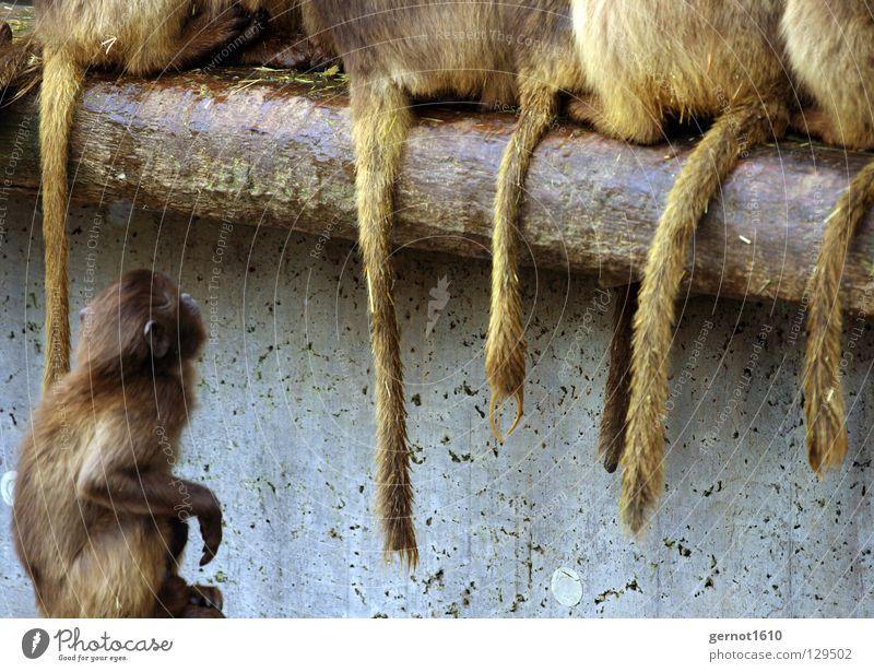 Wenn ich groß bin ... weiß braun dreckig sitzen Trauer Macht Hinterteil Ast Sehnsucht Fell Zoo Verzweiflung Säugetier Schwanz Affen Neid