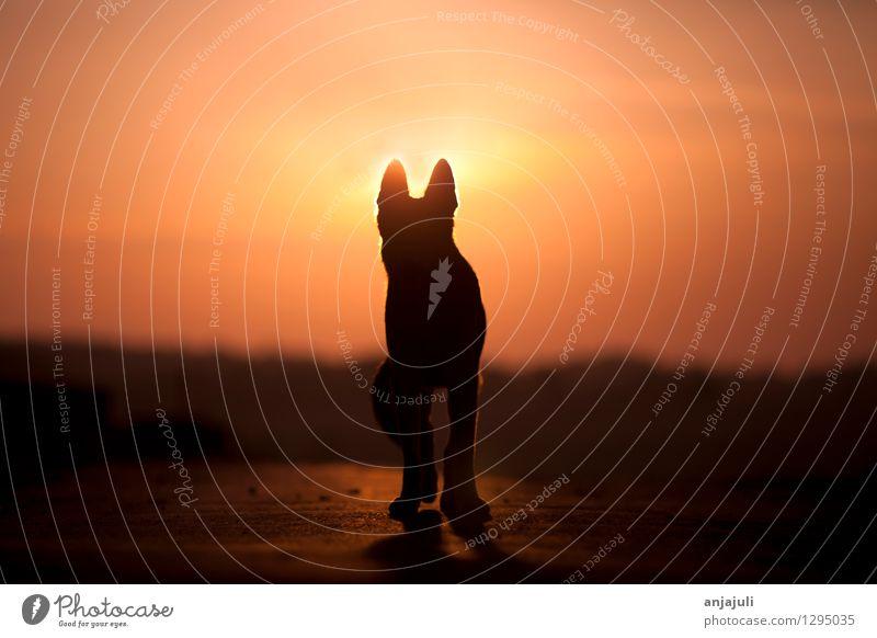 Hunde Silhouette im Sonnenuntergang rot Einsamkeit Tier ruhig schwarz Leben gelb Traurigkeit Gefühle Glück außergewöhnlich Tod Stimmung orange gehen