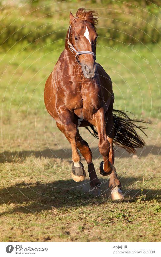Pferd galoppiert frei auf der Wiese frontal Reiten Tier Bewegung glänzend muskulös Geschwindigkeit Freude Kraft galoppieren schön wild Mut Huf Energie Mähne