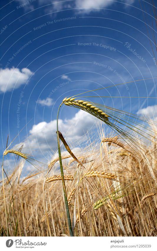Kornfeld mit blauem Wolken Himmel Getreide Ernährung Gesunde Ernährung Umwelt Natur Nutzpflanze Getreidefeld Weizenfeld Ähren Landwirtschaft Feld Idylle