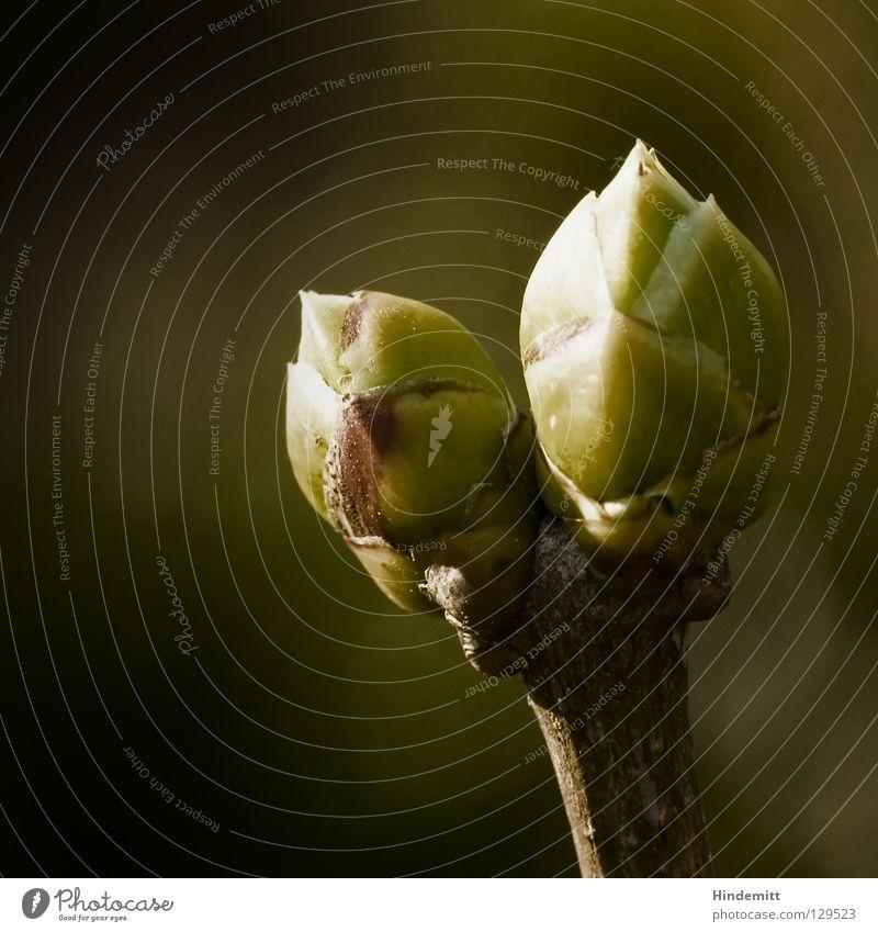Frühlings Erwachen [29-03-2008] Fliederbusch Sommerflieder Winter zart grün braun schwarz Hoffnung Beleuchtung dramatisch Morgen Physik aufwachen neu Keim