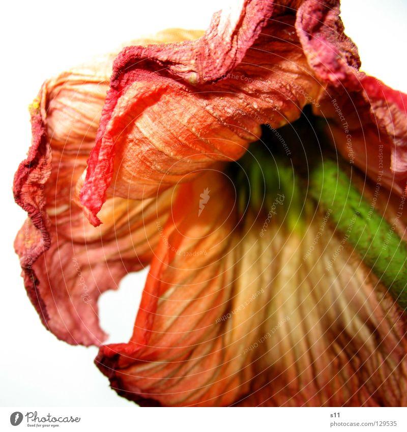 SCHÖN im ALTER Natur schön Blume grün Pflanze rot gelb Tod Blüte Frühling orange Stoff dünn Vergänglichkeit Stengel Quadrat