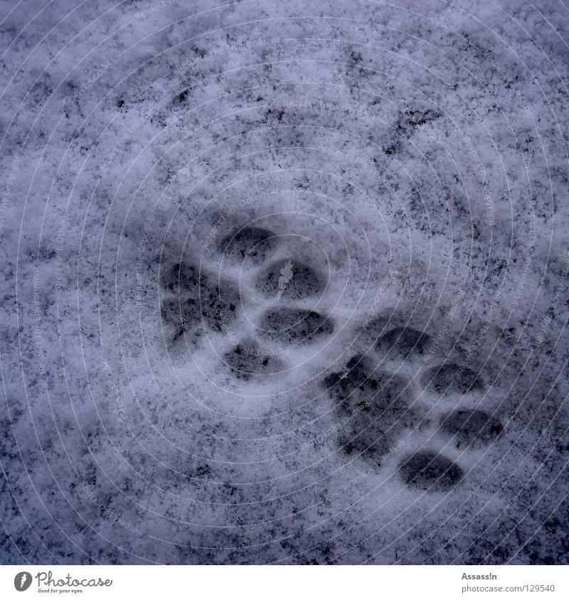 Tap Tap weiß Winter kalt Schnee grau Katze Schuhe Spuren Fußspur Säugetier Pfote Barfuß Schicksal Landraubtier