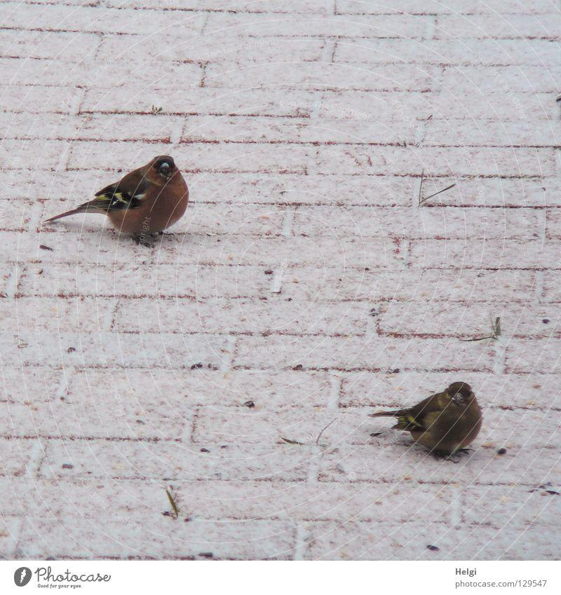 gemeinsam warten.... Vogel Buchfink Zusammensein Futter Nahrungssuche Korn Winter kalt frieren Appetit & Hunger Frühling Dezember Januar Februar März Feder