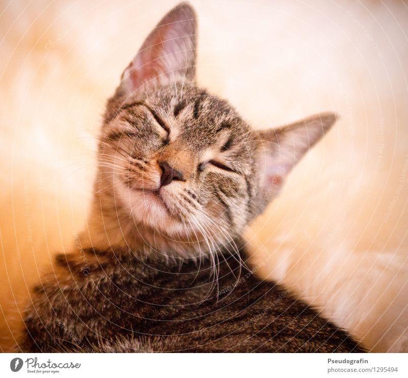 Müde Katze Tier Haustier Tiergesicht 1 Tierjunges genießen Lächeln schlafen träumen Freundlichkeit Fröhlichkeit Glück schön kuschlig niedlich Zufriedenheit