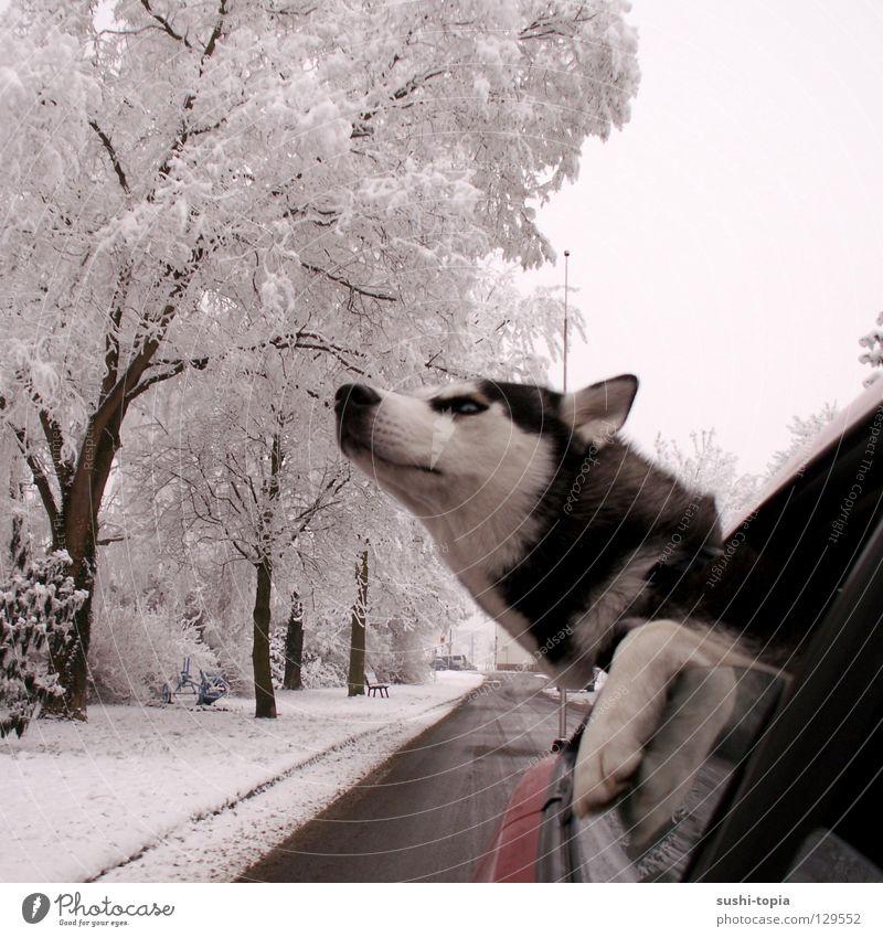 """""""Ich bin ein Hund! HOLT MICH HIER RAUS!!!"""" Husky Baum rot schwarz weiß Bürgersteig Schlamm Sehnsucht Luft Pfote Wald fahren Fenster Wolken schlechtes Wetter"""