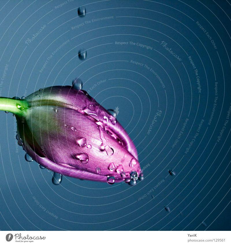 100 Tulpe Blume rosa violett Blüte Licht Wassertropfen Regen nass feucht frisch Frühling Wachsamkeit Kraft mehrfarbig Muttertag Valentinstag Stengel blumenstiel
