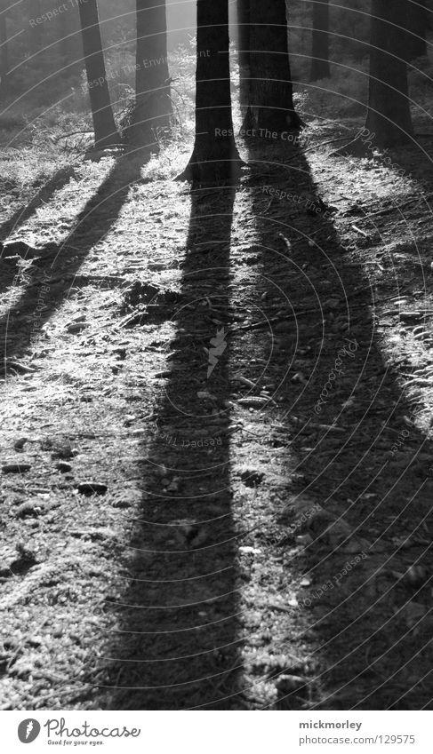 Long Road to Nature Baum Licht Wald Holzmehl Baumstamm Wiese Waldlichtung schwarz weiß lang Spaziergang Luft frisch harmonisch ruhig Schwarzweißfoto tree