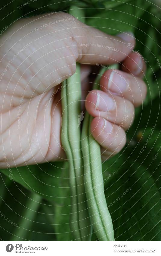 Erntezeit Natur Pflanze grün Tier Gesundheit Garten Lebensmittel Gemüse Vegetarische Ernährung Nutzpflanze
