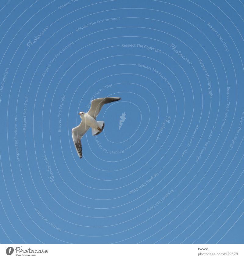 Möwe fliegt heimwärts Vogel weiß aufsteigen Aufschwung Segeln Segelfliegen Expedition Wege & Pfade Ferne Freiheit Luft Himmel blau weiß-blau Klarheit deutlich