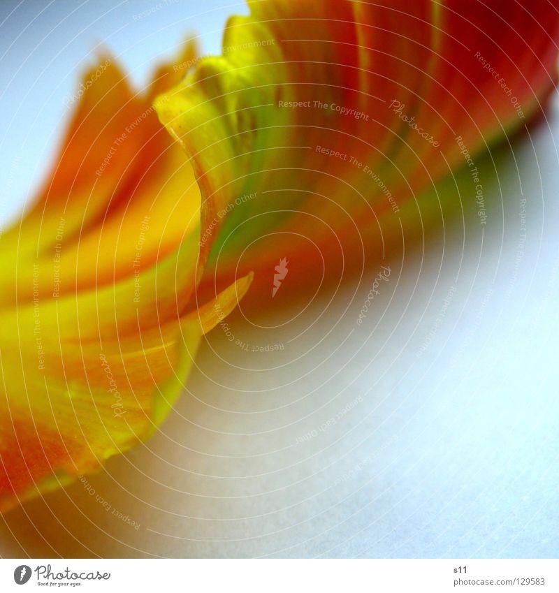 TulpenFeder Natur schön Blume grün Pflanze rot gelb Farbe Lampe Blüte Frühling orange Vergänglichkeit leicht