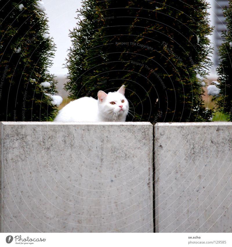 Auf der Mauer, auf der Lauer... Katze Publikum Wächter Jäger weiß grün Säugetier Jagd Versteck Garten