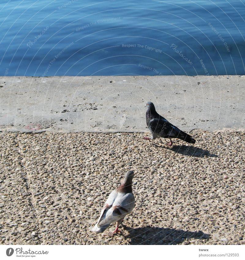 Tauben. Warten auf das Traumschiff. Wasser weiß Meer blau Ferien & Urlaub & Reisen schwarz See Wasserfahrzeug hell Vogel Küste Tierpaar gehen Beton paarweise Fluss