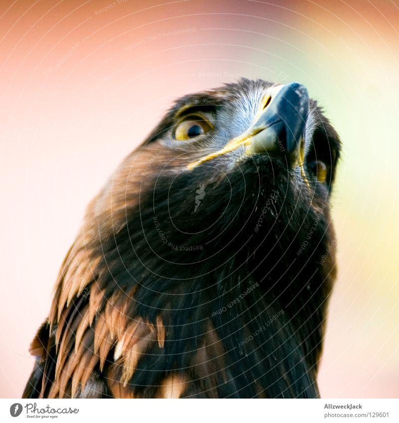 hidolf adler Tier Vogel Kraft Macht Schnabel Adler Federvieh Greifvogel