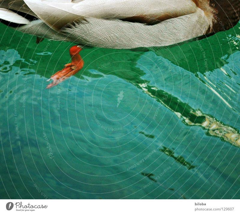 Antrieb Erpel Vogel weiß schwarz tollpatschig Meeresvogel Tier Außenaufnahme Wasser Ente Wasservogel Möwenvögel water blau orange Tollpatsch Seevogel Federfieh