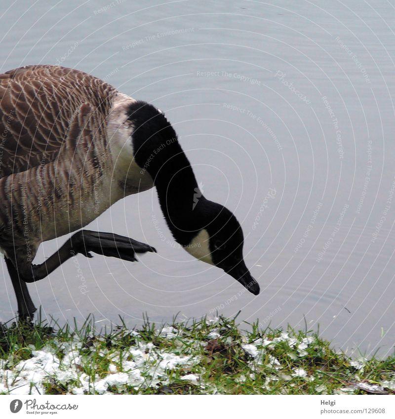 fußkalt ... Gans Wildgans Graugans Vogel Zugvogel Tier Schwimmhilfe Flaum Daunen Gänsebraten See Teich Gewässer stehen weiß braun schwarz lang dünn dick