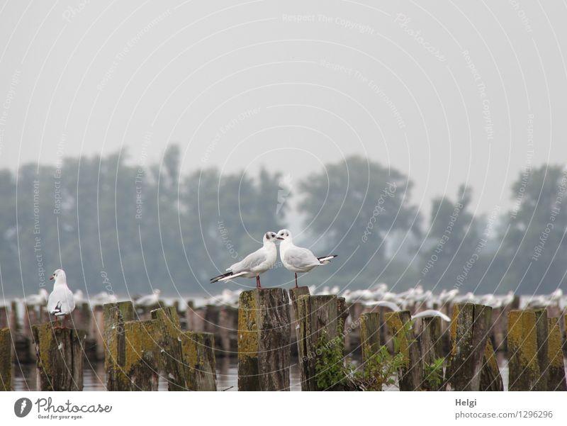 Zweisamkeit am Rande... Umwelt Natur Landschaft Pflanze Tier Sommer Nebel Baum Seeufer Wildtier Vogel Möwe 2 Tierpaar Holzpfahl Blick stehen ästhetisch