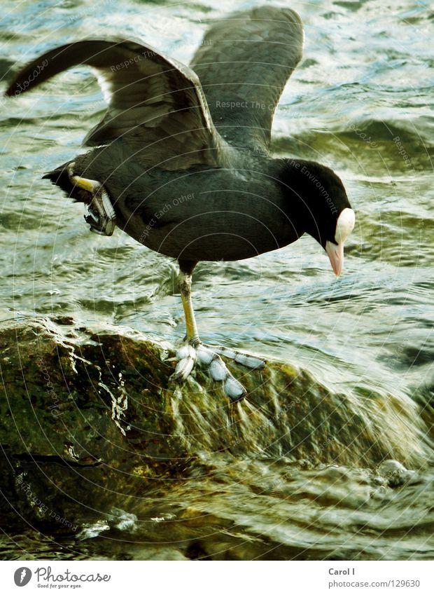Morgen-Gymnastik blau grün Wasser dunkel schwarz Beine See Stein Fuß Vogel Wellen Wildtier Wind Feder stehen Flügel