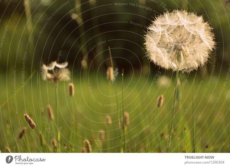 Standhaft... Umwelt Natur Landschaft Pflanze Herbst Schönes Wetter Blume Gras Wildpflanze Löwenzahn Wiese ästhetisch braun grün silber selbstbewußt Kraft