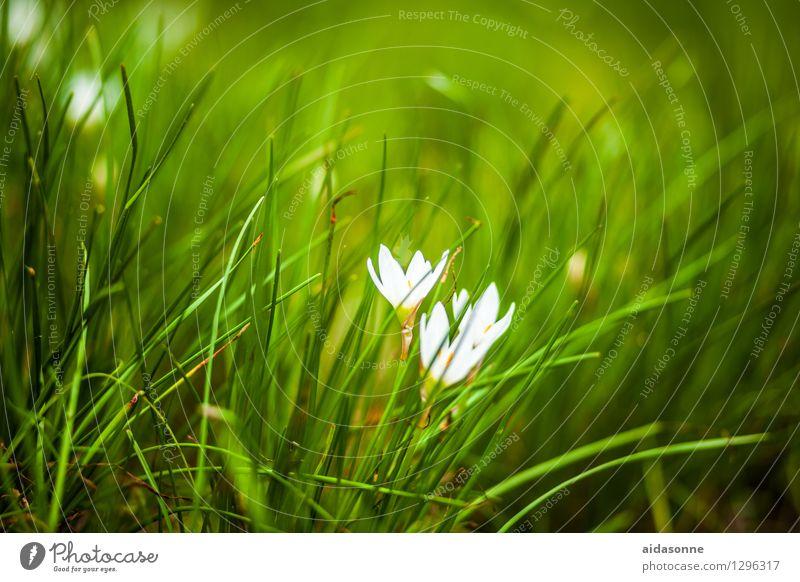 Herbstzeitlose Natur Pflanze Sommer Blume Zufriedenheit achtsam Gelassenheit ruhig Wiese Garten China Farbfoto Außenaufnahme Menschenleer Tag Sonnenlicht