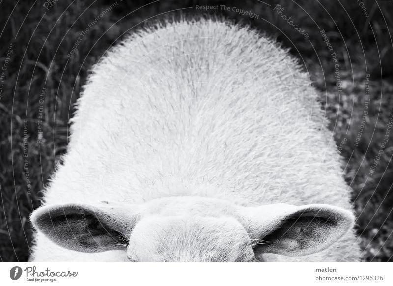 kümmerlich l Lauscher Tier Haustier Tiergesicht 1 schwarz weiß Schaf Ohr Haare & Frisuren Wiese Schwarzweißfoto Außenaufnahme Menschenleer Textfreiraum oben
