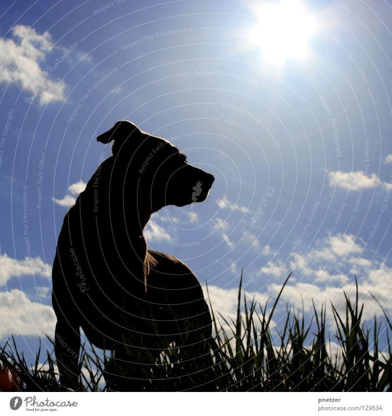 Canis lupus familiaris Hund Tier Haustier Labrador Mischling beige Fell gegen Licht weiß Wolken Gras schwarz stehen Wachsamkeit Spaziergang gehen Freude