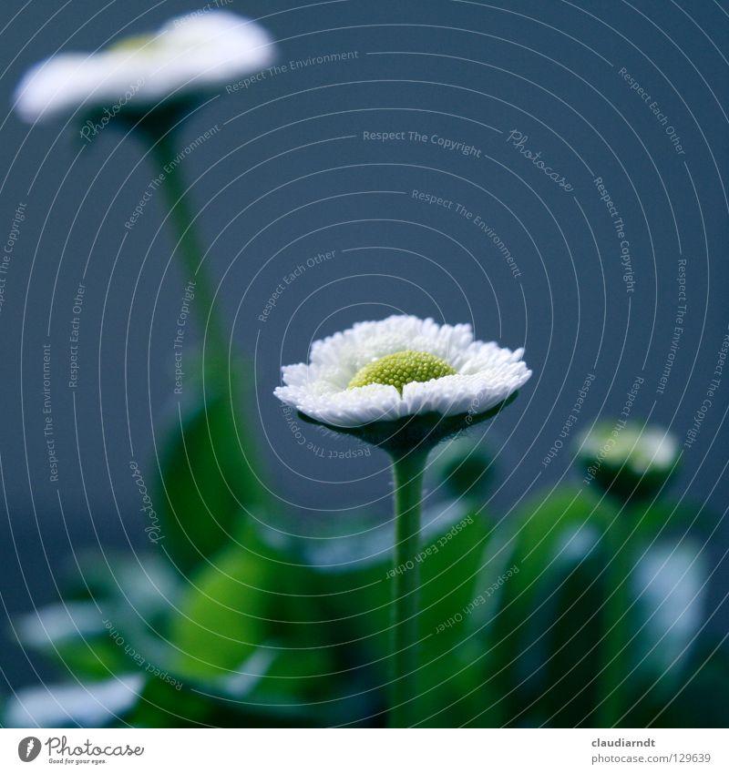 1000schönchen blau weiß Pflanze Blume Blüte Frühling frisch Fröhlichkeit Blühend Gänseblümchen Botanik