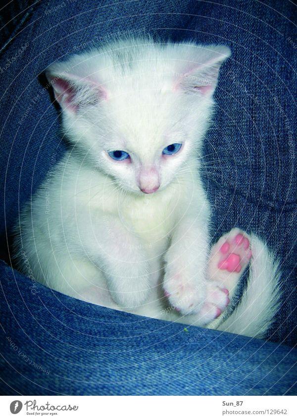 Zoe im Schoß Katze weiß klein winzig Haustier Tier Pfote Fell Schwanz Säugetier Mietze Jeanshose Fleck Ohr