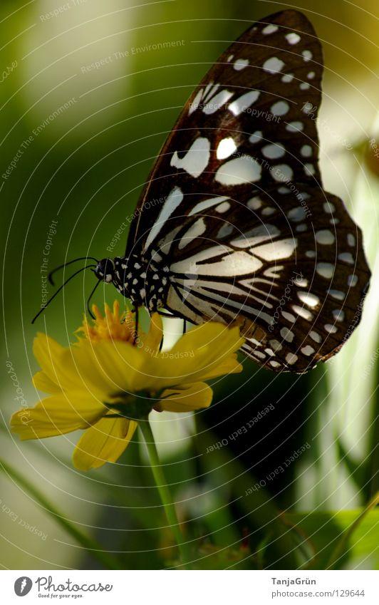 butterfly III Schmetterling Blume Blüte Pflanze gelb weiß schwarz mehrfarbig Sommer Insekt Pause Physik Thailand grün flattern Honig Pollen Makroaufnahme