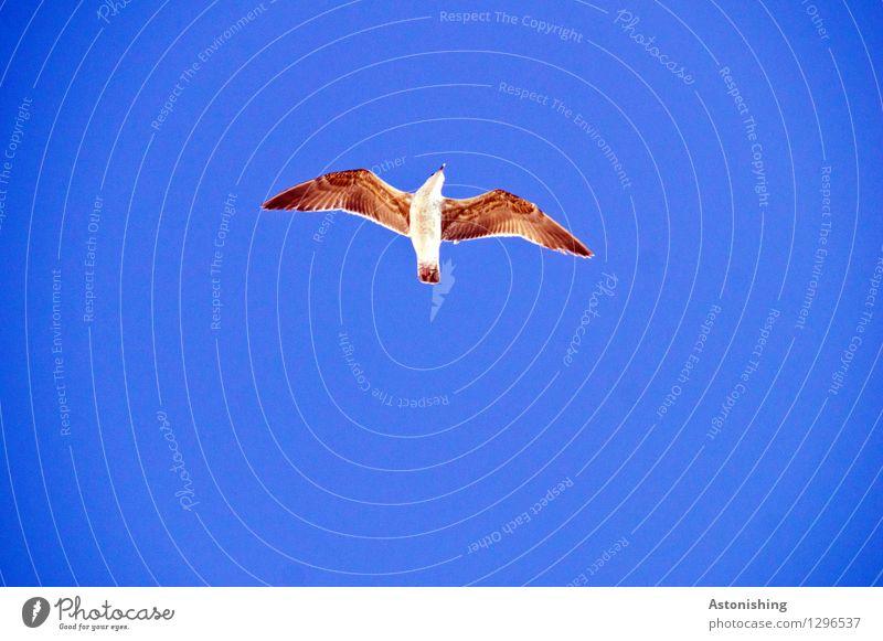 Möwe im Flug I Himmel blau weiß Tier klein fliegen braun Vogel oben Wetter Luft elegant Wildtier Flügel hoch Schönes Wetter