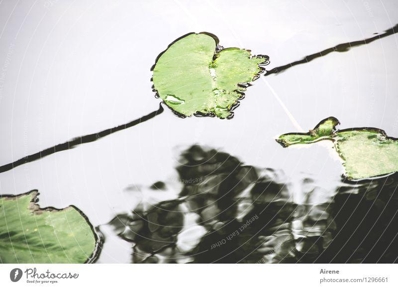 0815 AST | oberflächlich Pflanze Blatt Seerosenblatt Seerosenteich Seeufer Flussufer Teich Regnitz Wasser Zeichen Linie Schwimmen & Baden Wachstum oben grün