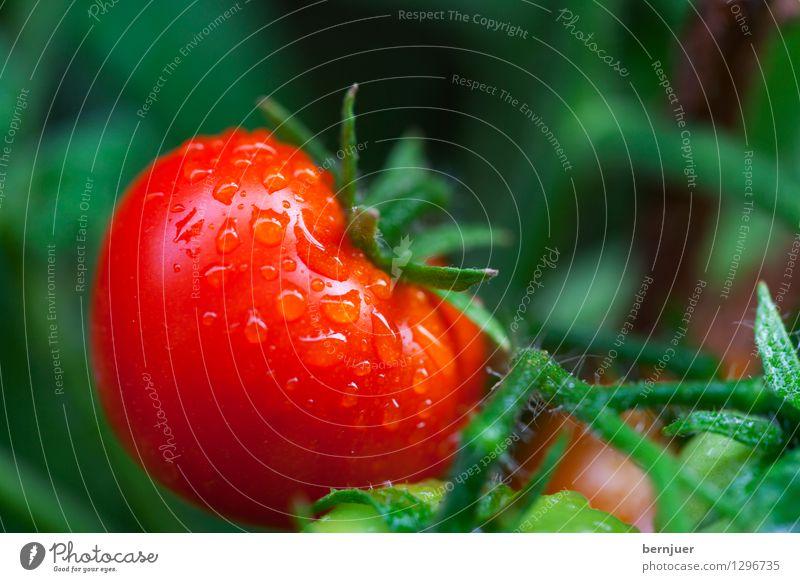 Paradeiser Pflanze Wasser rot Blatt Leben Gesundheit Lebensmittel frisch Wassertropfen einzeln Gemüse lecker gut Stengel Übergewicht Bioprodukte