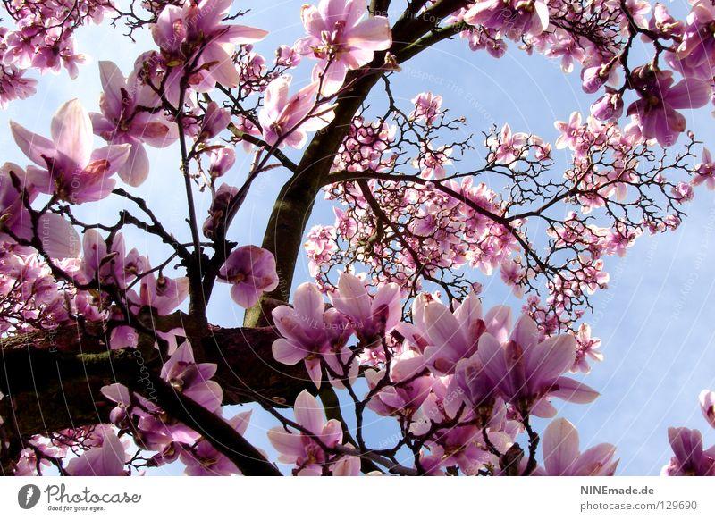 FrühlingsZauber Natur schön weiß Freude Blüte Frühling Glück Park Wärme Stimmung Beleuchtung rosa Kraft Perspektive Fröhlichkeit Klima