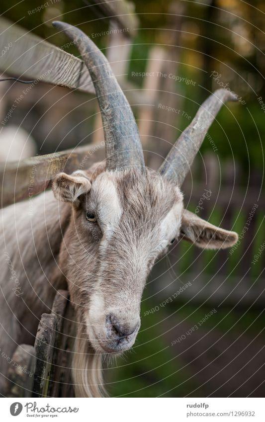 bock(s)horn Tier braun Behaarung elegant stehen warten Ausflug beobachten weich Freundlichkeit Neugier Zaun entdecken Fell Bart Tiergesicht