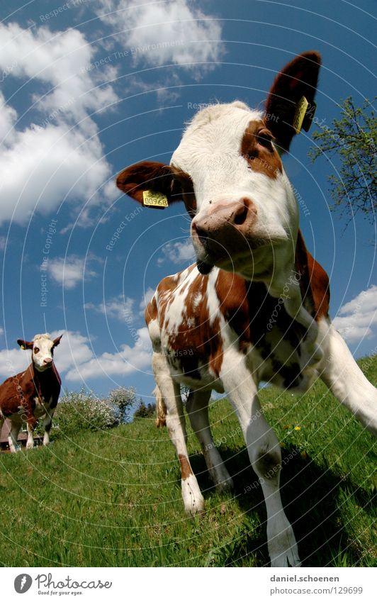 runter von meiner Wiese ! Kalb Kuh Weitwinkel Landwirtschaft Tier Sommer Frühling grün zyan Ferien & Urlaub & Reisen Schwarzwald Umwelt Biotop ökologisch Wolken